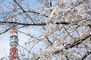 東京タワーと桜の写真・画像素材[4295405]