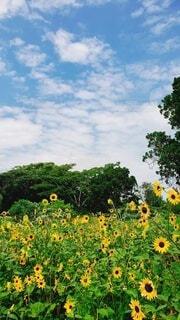 夏の向日葵の写真・画像素材[4684838]