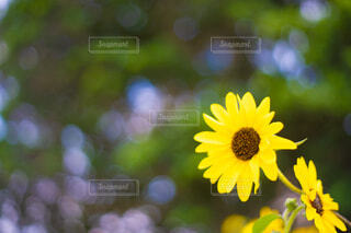 夏の向日葵の写真・画像素材[4687583]