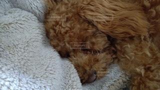 ベットで寝ているココちゃんの写真・画像素材[3952751]