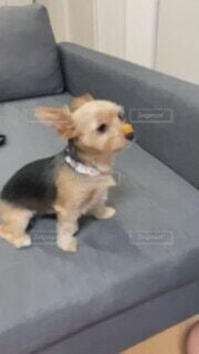 犬,動物,屋内,かわいい,茶色,ソファー,空中,小型犬,ミックス,待て,ほしいものおやつ,鼻ぱく,スロー動画