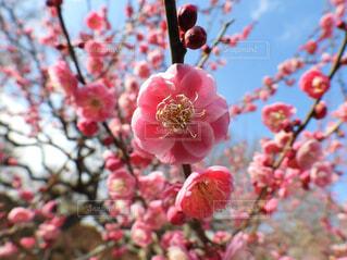 ピンクが輝く梅の写真・画像素材[4363724]