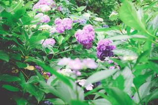 幸せを呼ぶハートの紫陽花の写真・画像素材[4561250]