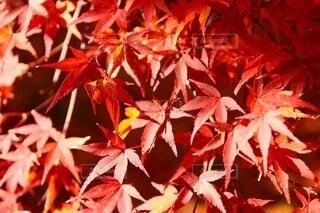 真っ赤な紅葉の写真・画像素材[3955021]