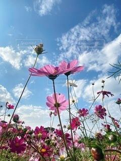 見上げる秋桜の写真・画像素材[3955981]