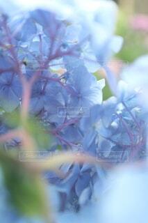 紫陽花の裏側の写真・画像素材[3959611]