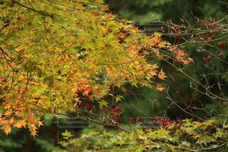 緑の楓の写真・画像素材[3962057]