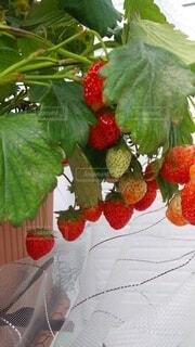 たわわなイチゴの写真・画像素材[4907542]