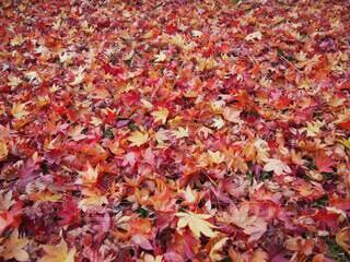 紅葉の絨毯の写真・画像素材[3959595]