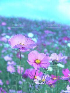 花畑に咲くピンクのコスモスのクローズアップの写真・画像素材[3959844]