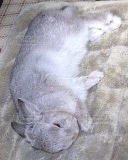 寝ているウサギの写真・画像素材[3962200]