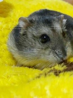 黄色い毛布とハムスターの写真・画像素材[3962201]