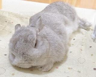 気持ちよさそうに寝るウサギの写真・画像素材[3963613]
