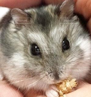 エサを食べるハムスターの写真・画像素材[3963683]