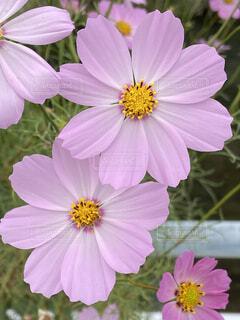 ピンクのコスモスの写真・画像素材[3968755]