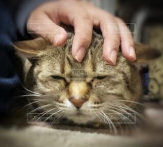 頭を撫でられて気持ちよさそうなネコの写真・画像素材[3980815]