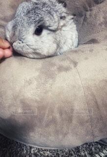 クッションから顔を出しておやつをもらうウサギの写真・画像素材[3981473]