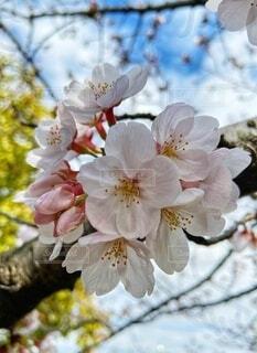 桜のクローズアップの写真・画像素材[4011298]