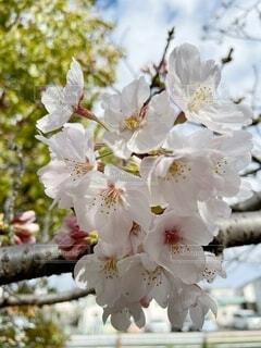 桜のクローズアップの写真・画像素材[4011294]