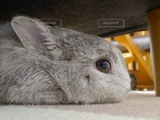 ソファーの下でくつろぐウサギの写真・画像素材[4014009]