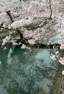 桜と川の写真・画像素材[4655428]