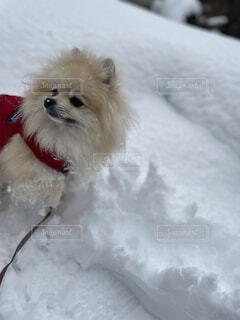 犬,冬,雪,運動,ウィンタースポーツ,穴掘り,雪玉