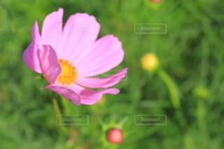 花,屋外,ピンク,緑,花びら,おでかけ,草木,クローズ アップ,フローラ