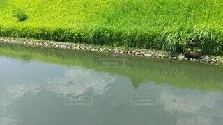 自然,風景,夏,屋外,緑,泳ぐ,新緑,鴨,リフレクション,お堀,鯉,遊泳,足利学校