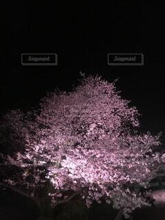 夜桜の写真・画像素材[3978985]