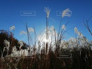 寒い朝の公園のすすきの写真・画像素材[3980427]