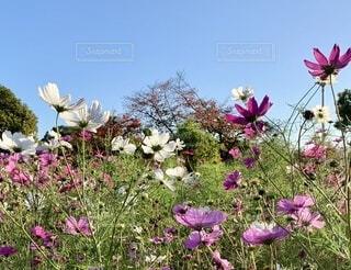 公園で日光を浴びるコスモスの花の写真・画像素材[3982705]