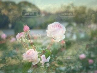 薔薇の花のクローズアップの写真・画像素材[3983845]