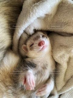 毛布にくるまれて眠るフェレットの寝顔の写真・画像素材[3987589]