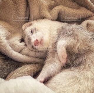 毛布で眠るフェレットの写真・画像素材[3994453]