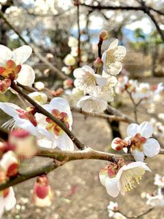 白い梅の花と蕾、春の訪れの写真・画像素材[4372286]