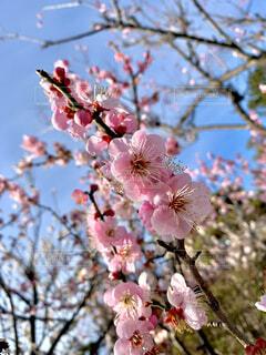 薄ピンクの梅の花と蕾と空の写真・画像素材[4372287]