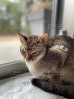 窓辺で座っているグレーの猫の写真・画像素材[3991104]