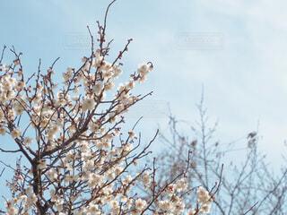 空,花,春,屋外,白,梅,青空,青い空,白い花,樹木,ウメ,梅の花,草木,桜の花