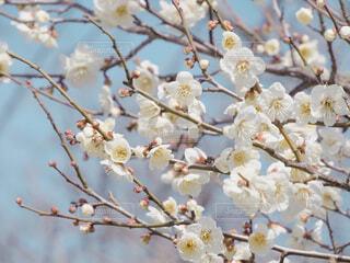 花,春,屋外,白,梅,青空,青い空,白い花,樹木,ウメ,梅の花,草木,桜の花