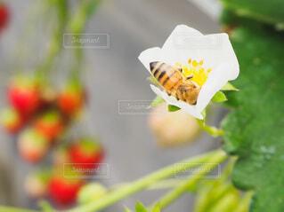 花,春,動物,緑,赤,白,白い花,いちご,苺,昆虫,いちご狩り,ミツバチ,草木,蜜蜂,イチゴ,みつばち,蛾や蝶