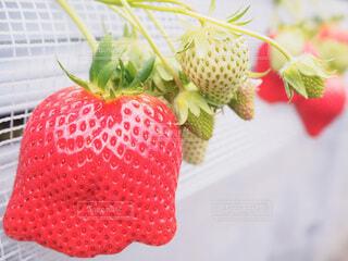 食べ物,スイーツ,春,赤,いちご,苺,フルーツ,果物,いちご狩り,イチゴ,自然食品,大きないちご