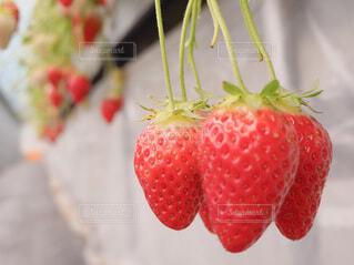 食べ物,スイーツ,春,屋内,赤,いちご,苺,フルーツ,果物,みずみずしい,甘い,いちご狩り,美味しい,赤い,イチゴ,自然食品,種なしの果実