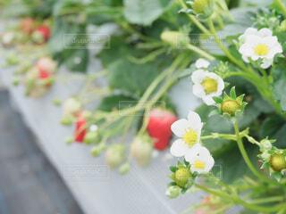 食べ物,スイーツ,花,春,屋内,屋外,赤,白,白い花,いちご,苺,フルーツ,果物,みずみずしい,甘い,いちご狩り,美味しい,赤い,草木,イチゴ,いちごの花,自然食品,種なしの果実