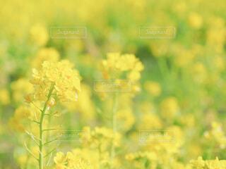 自然,花,屋外,黄色,菜の花,景色,草,菜の花畑,草木,菜種,広葉
