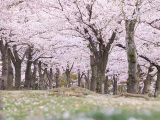 桜並木道の写真・画像素材[4303496]