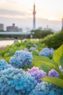 スカイツリーと紫陽花の写真・画像素材[4576223]