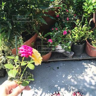 屋上ガーデニングで薔薇が咲いてくれたの写真・画像素材[4172231]