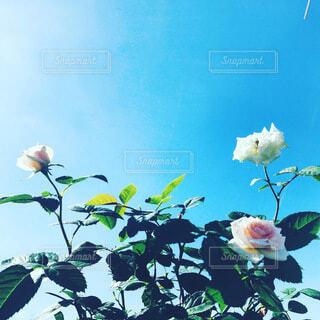 屋上のバラが咲きましたの写真・画像素材[4174783]