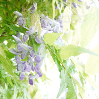 庭先の藤の花の写真・画像素材[4337631]