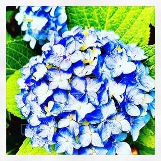 雨上がりの紫陽花の写真・画像素材[3997647]